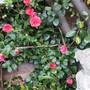Red Camellia no 2 (Camellia)