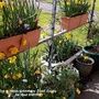 View of interior of balcony on Easter Sunday 5th April 2021 004 (Daffodil)