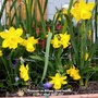 Narcissus on balcony (from outside) 3rd April 2021 007 (Daffodil)