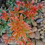 """Pieris japonica """" Little Heath sense """" (Pieris japonica (Lily of the valley bush))"""