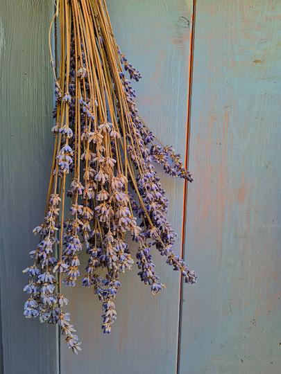 Dried lavender. (Lavandula angustifolia (Lavender))