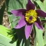 Pulsatilla vulgaris (Pasque flower) (Pulsatilla vulgaris (Pasque flower))