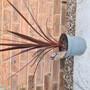 'Red Cordyline' (Cordyline australis (New Zealand cabbage palm))