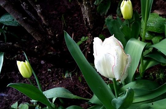 Diamond Jubilee Tulip.