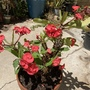 Crown-of-thorns (Euphorbia milii)