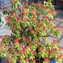 Quite an old Pieris....15 years....still looking its best at this time of year.