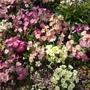 Primroses/Primulas