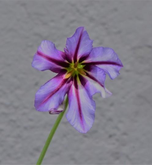 Leucocoryne hybrid (Leucocoryne)