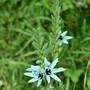 Ixia viridiflora var. viridiflora