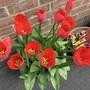 Darwin tulip 'Red Parade'