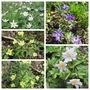 Anemone nemorosa (Windflower)