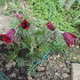 Pulsatilla vulgaris rubra (update) (Pulsatilla vulgaris (Pasque flower))