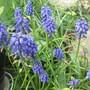 Muscari  (Muscari (Grape hyacinth))