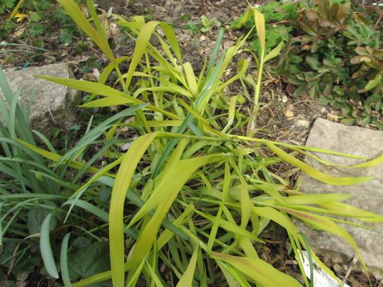 Another self seeder (Milium effusum Aureum(Wood Millet))