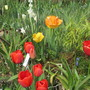 Spring Bulbs (Tulipa (Tulip))