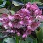 Helleborus x ballardiae 'Pink Frost'. (Helleborus x ballardiae 'Pink Frost'.)
