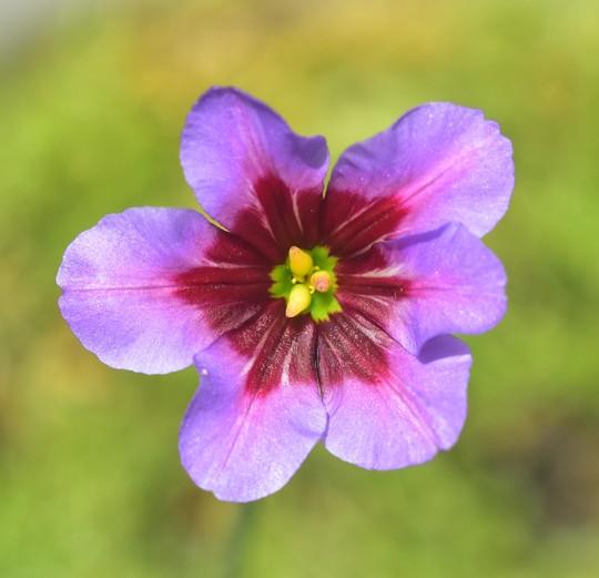 Leucocoryne 'Andes' (Leucocoryne)