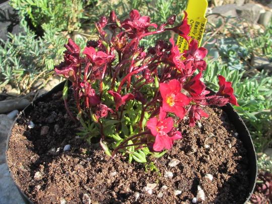 Saxifraga 'Touran Red' (Saxifraga x arendsii)