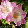 Freesias flowering on balcony 15th April 2021 001