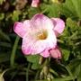 Freesia 1st flower of 2021 on balcony 12th April 2021 (Freesia grandiflora)