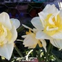 Narcissi flowering on balcony 17th April 2021 011 (Daffodil)