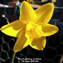 Narcissi flowering on balcony 17th April 2021 007 (Daffodil)