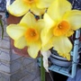 Narcissi flowering on balcony 17th April 2021 004 (Daffodil)