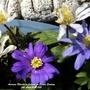 Anemone Blanda on balcony Easter Sunday 2021 (Anemone blanda (Anemone))