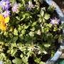 Anemone Blanda flowering on balcony 18th April 2021 (Anemone blanda (Anemone))