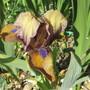 First Bearded Iris 2021 (Bearded Iris)