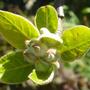 Apple in bud