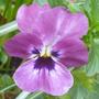 self sown Viola (Viola)