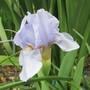Standard Dwarf Iris (Iris pumila (Dwarf Flag))