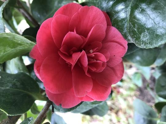 Camellia japonica Are-Jishi (Camellia japonica Are-Jishi)