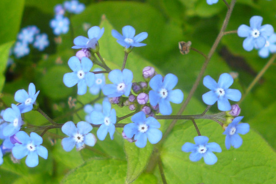 Brunnera macrophylla (Brunnera macrophylla (Brunnera))