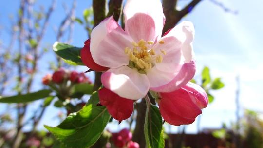 Cobra apple in bloom.