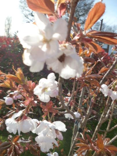 Prunus 'chocolate ice'