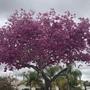 Tabebuia impetiginosa - Pink Ipê Tree