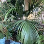 Howea belmoreana - Curly Palm