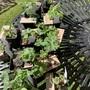 Pelargoniums