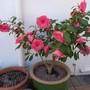 Camellia  -  again!