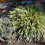 Carex 'Feather Falls' (Carex)