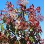 Photinia 'Red Robin'