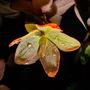Highlighted hellebore  (Helleborus x sternii (Hellebore))