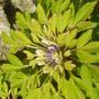 Anemone nemerosa Viridiflora