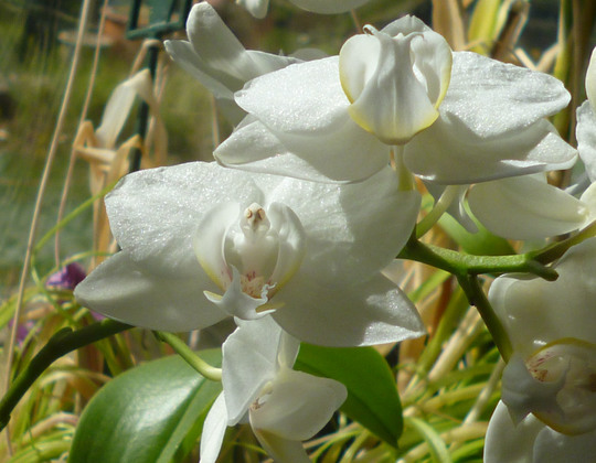 A good white orchid.