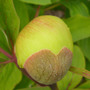Paeonia_molly_the_witch_bud
