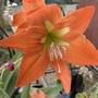 Amaryllis Orange Flowers