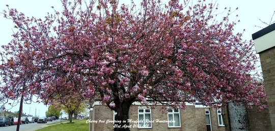 Cherry tree flowering in Mayfield Road Huntingdon 21st April 2021 001