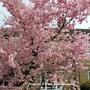 Cherry tree in Priory Road Huntingdon 1st April 2021 001